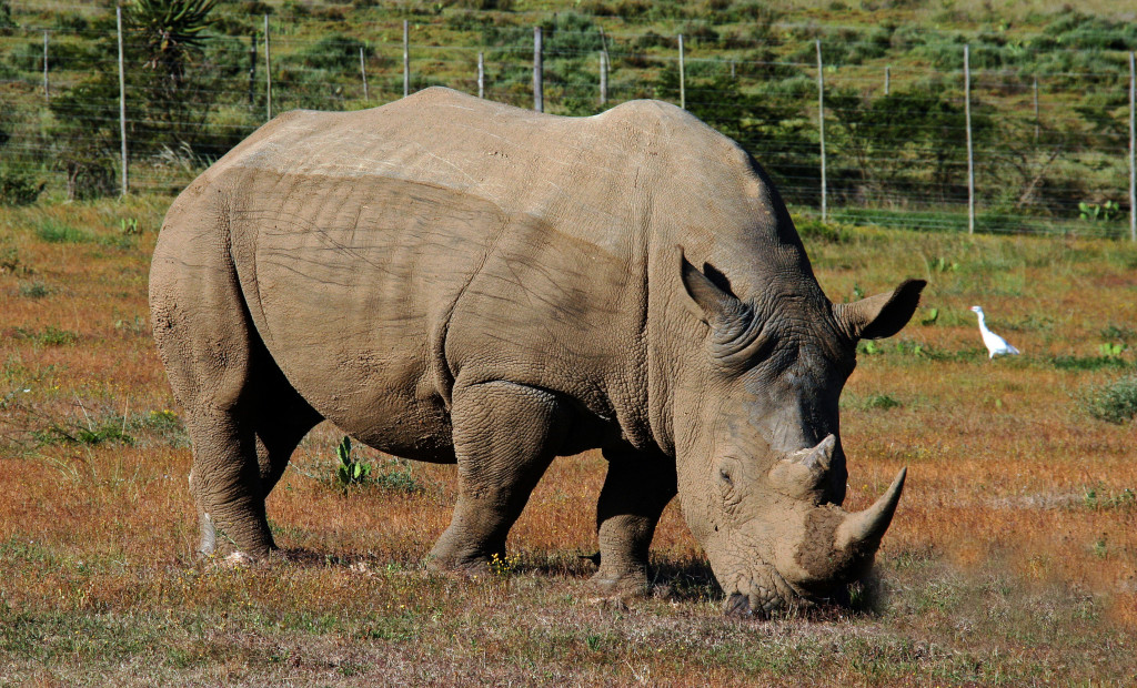 South African Rhinoceros