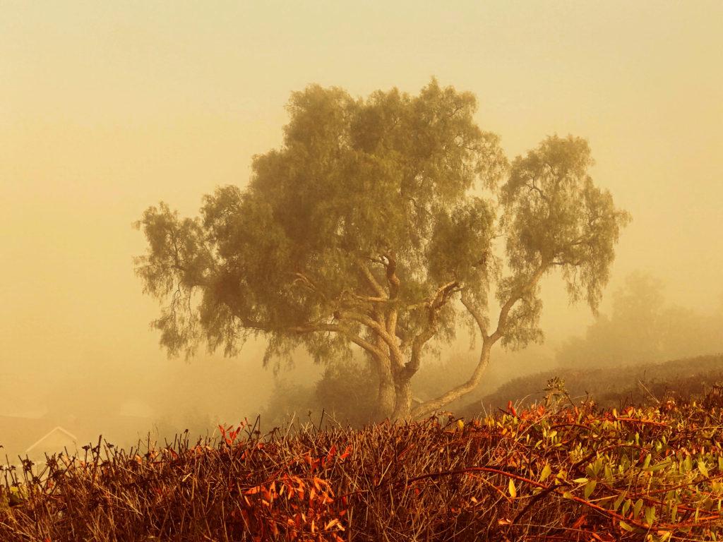 Tree Laguna Niguel